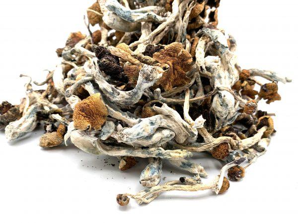 Blue Meanie Mushrooms - Psilocybe Cubensis