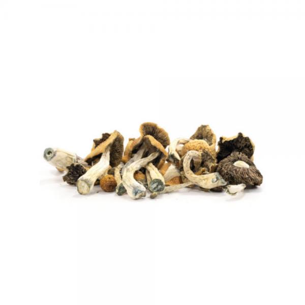 Malabar Mushrooms - Psilocybe Cubensis